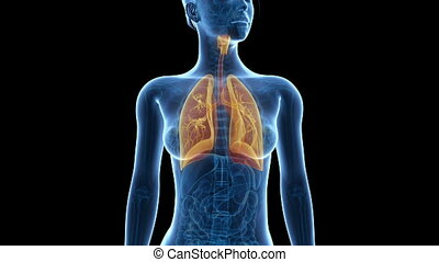 Visible lung - Medical 3d animation of a female with visible...
