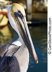 Pelicans in San Carlos, Sonora Mexico - Pelicans in San...