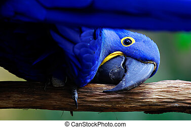 parrot - blue parrot