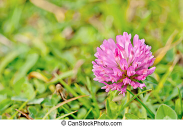 flowering red clover. Close up