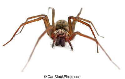 spider macro - live spider isolated on white background with...