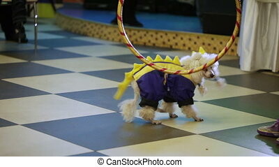 Performances dogs - Two well-dressed dog stand on children's...