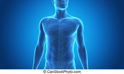 Pain in the mid back - Medical 3d animation of a male having...