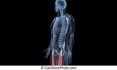 Musculus rectus femoris - Animation showing the musculus...
