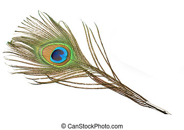 Peacock feather quill  isolated on white