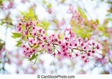 Thai Sakura found in Rak Thai Village, Mae Hong Son,...