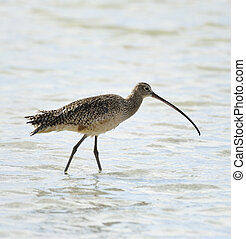 Long-Billed Curlew Bird - Long-Billed Curlew (Numenius...