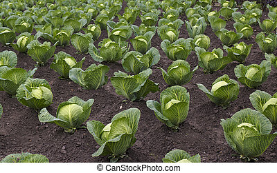 beds with cabbage - Equal ranks of beds with cabbage