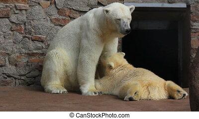 female polar bear feeding her cub