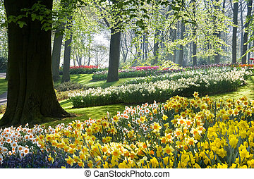 Daffodils and beechtrees in spring in early morning in park