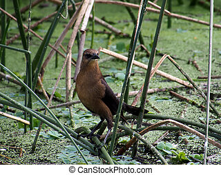 Boat-Tailed Female Grackle in Marsh