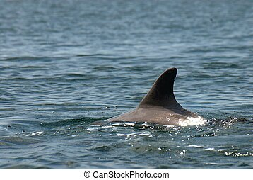 A free dolphin fin - Family of free dolphins playing in the...
