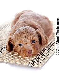 Puppy on a rug. Puppy of a decorative doggie. Decorative...