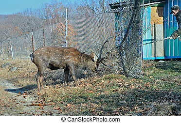 Rescue of deer 2 - The rescue of spotted deer meshed in net...