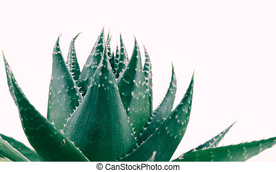 Aloe vera plant isolated on white background