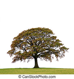 Oak Tree In Autumn - Oak tree in a field autumn, isolated...