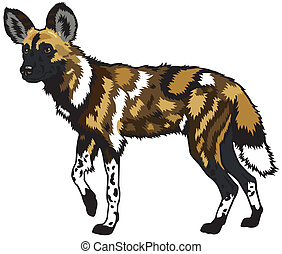 african wild dog,lycaon pictus,side view image isolated on...
