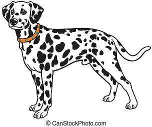 dalmatian - dog dalmatian breed,side view,image isolated on...