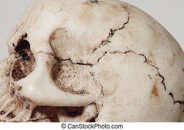 human cranium - detail of an human cranium