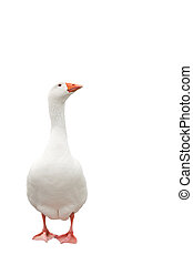 White goose isolated