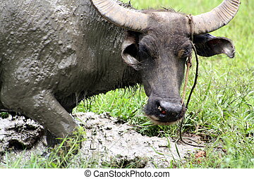 Carabao WB-1269 - The Carabao or (Bubalus bubalis...