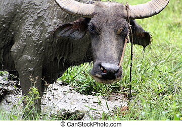 Carabao WB-1270 - The Carabao or (Bubalus bubalis...