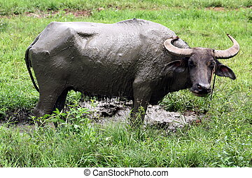 Carabao WB-1275 - The Carabao or (Bubalus bubalis...