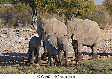 Elephants in Etosha - Family of elephants getting into...
