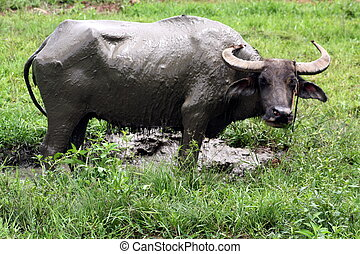 Carabao WB-1276 - The Carabao or (Bubalus bubalis...