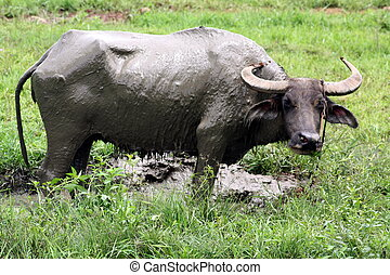 Carabao WB-1277 - The Carabao or (Bubalus bubalis...