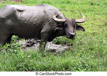 Carabao WB-1278 - The Carabao or (Bubalus bubalis...