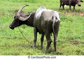 Carabao WB-1282 - The Carabao or (Bubalus bubalis...