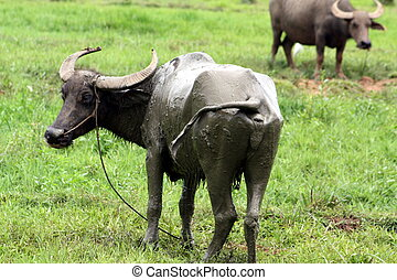 Carabao WB-1283 - The Carabao or (Bubalus bubalis...