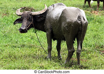 Carabao WB-1284 - The Carabao or (Bubalus bubalis...