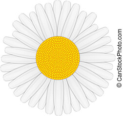 Camomile isolated on white background, vector eps10...