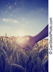 Retro image of a hand cupping the wheat over a field - Retro...