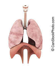 model of the lungs isolated on white background