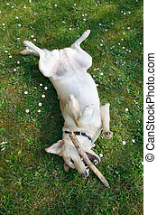 Playing labrador - Young female labrador playing on her back...