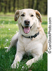 laying labrador - Young female labrador laying in the spring...