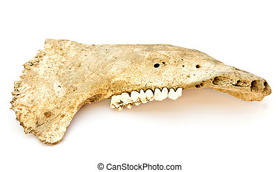 The lower jaw bone from a pig
