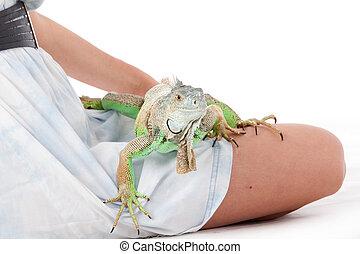 ambulante, iguana