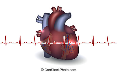 Heart anatomy and cardiogram on a white background. Colorful...