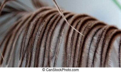 A African ostrich feather-like brown leaf - Leaves that...