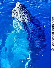 Majestic Humpback Whale up close