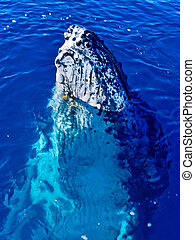 Majestic Humpback Whale having a look around - Majestic...