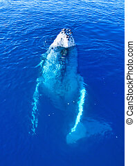 Majestic Humpback Whale up close and personal