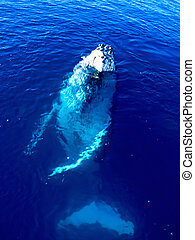 Majestic Humpback Whale in the big blue ocean looking at you