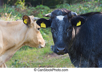 Black and brown cow in nature - Portrait of black and brown...