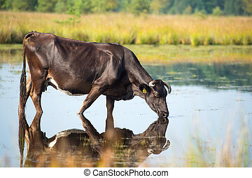 Nature landscape with cow drinking in lake - Piedmontese...