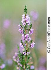 macro heather flowers - Macro of purple heather flowers in...